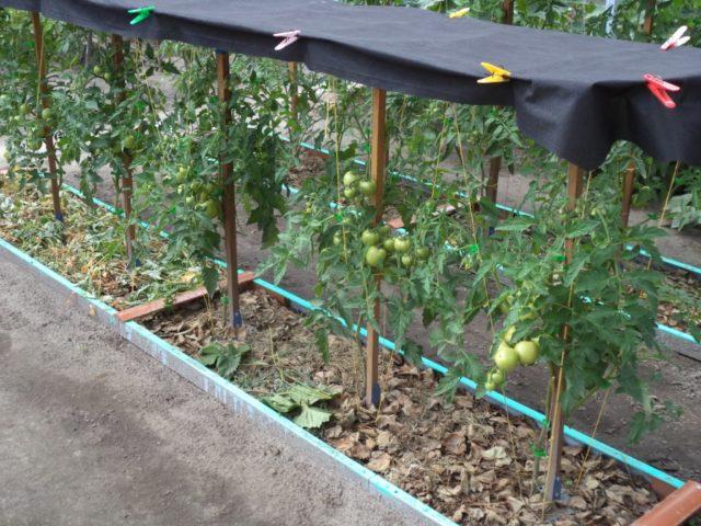 грядка для помидор в открытом грунте