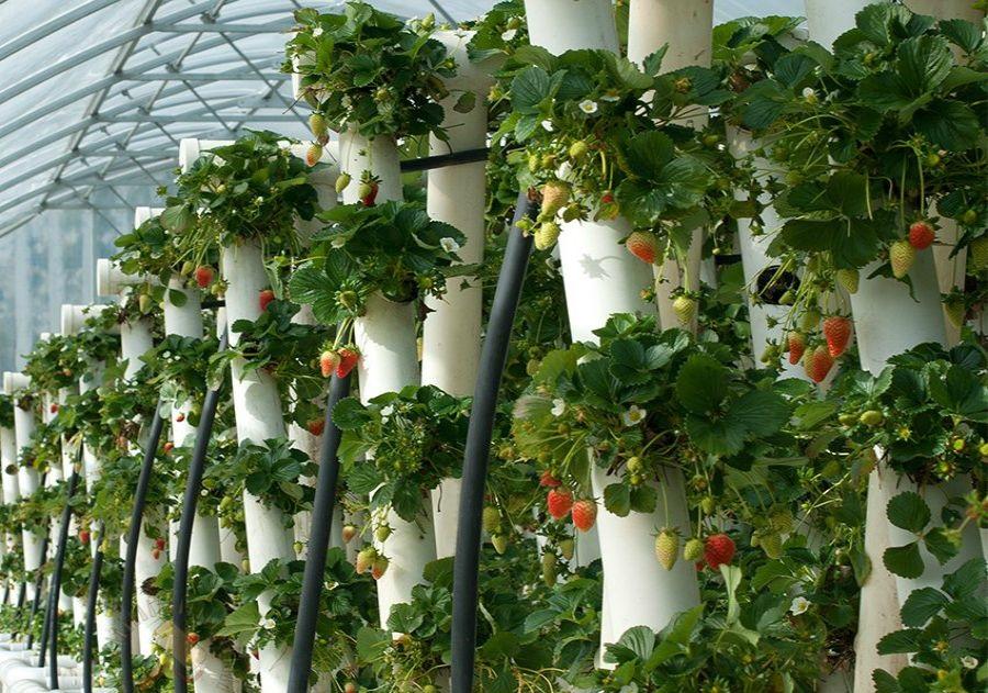 Клубника на балконе в пластиковых бутылках и трубах ПВХ: как посадить и выращивать
