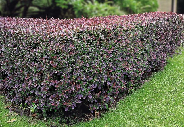 Живая изгородь из барбариса – надежная защита участка от нежеланных гостей