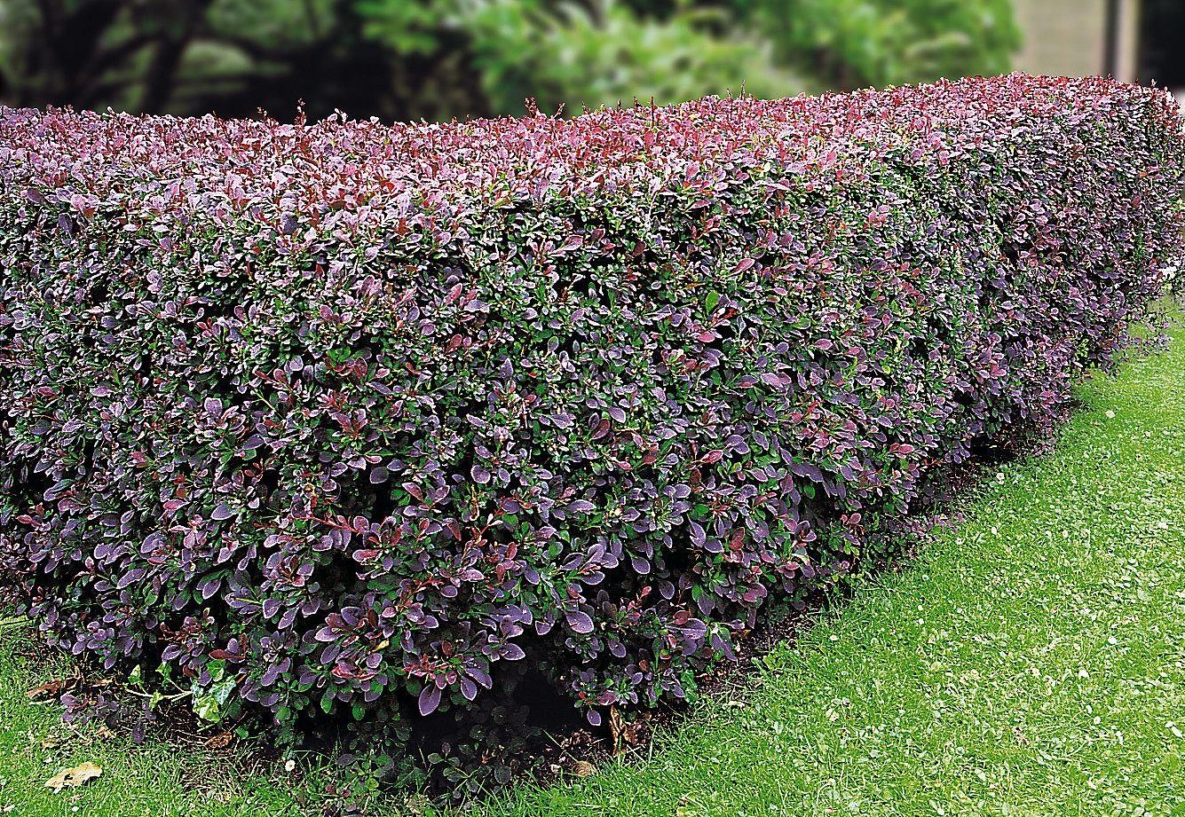 видим, растения для живой изгороди фото и названия одна многих пар
