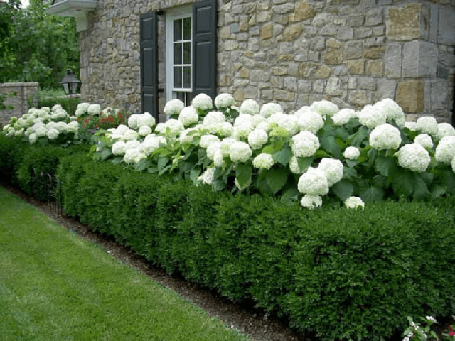 Живая изгородь из кизильника блестящего: схема посадки   рекомендации по уходу
