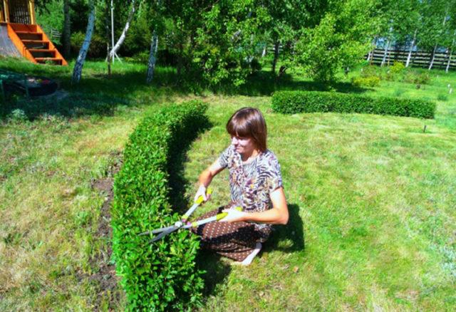 Живая изгородь из кизильника блестящего: схема посадки + рекомендации по уходу