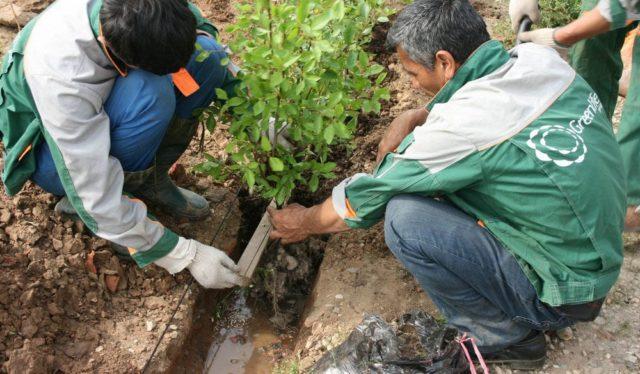 Живая изгородь из боярышника своими руками – уникальная замена садовых заборов