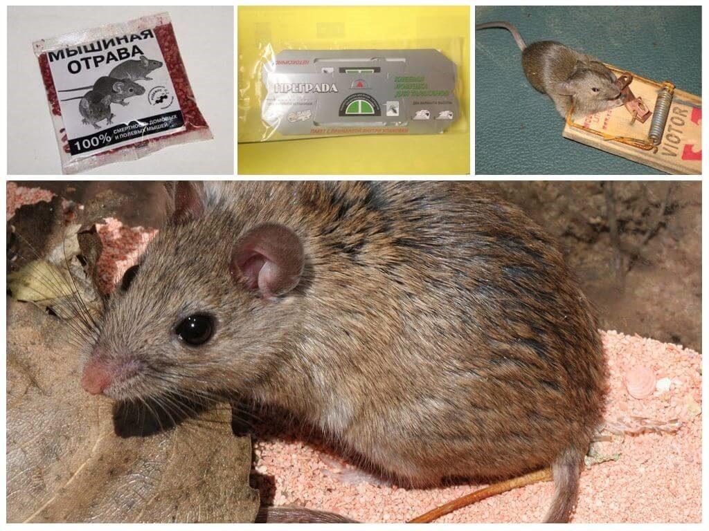 Быстрые способы уничтожения мышей в гараже