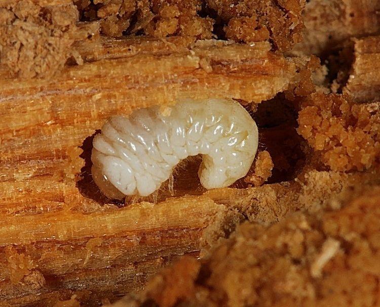 Как спасти дом из дерева от жука-древоточца