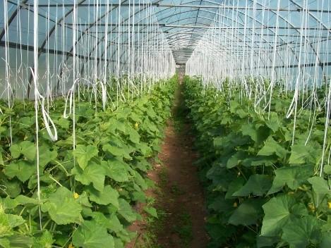 Теплица для огурцов: требования к конструкции и несущие элементы для подвязки растений